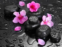 Spa stones with drops and pink sakura flowers Royalty Free Stock Photos