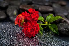 Spa stones with  flowers on dark background Stock Image