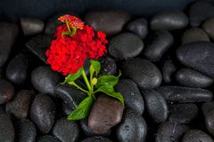 Spa stones with  flowers on dark background Royalty Free Stock Photography