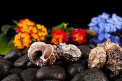 Spa stones and flowers with water drops on black background Royalty Free Stock Images