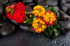 Spa stones and flowers with water drops on black background Stock Photo