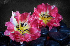 Spa stones and tulip flowers with reflection Stock Photos