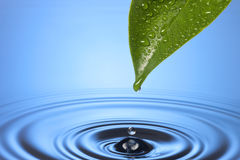 Spa Water Drop Leaf Ripples. A single green leaf with a drop of water formed on its tip and a rippled blue water background Royalty Free Stock Photos