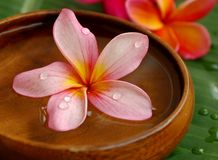 Spa and wellness. Tropical pink plumeria in wooden  bowl Royalty Free Stock Images