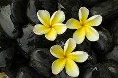 Spa and wellness. Tropical white plumeria on black stones Stock Images