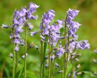 Spaans klokje (Hyacinthoides-hispanica) royalty-vrije stock foto's