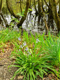 Spaans Klokje Hyacinthoideshispanica Stock Afbeeldingen