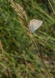 Spaans krijt-Heuvel Blauw op droge grasstam Stock Foto's
