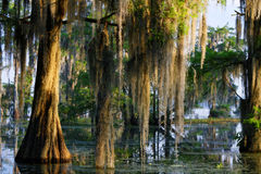 Spaans mos in Bayou stock foto