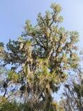Spaans mos die van een eiken boom draperen Stock Foto