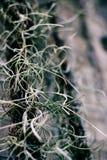 Spaans mos op muur Stock Fotografie