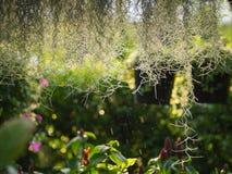 Spaans Moss Hanging in de Regen stock foto's