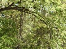 Spaans Moss Hanging van Kale Cipresbomen royalty-vrije stock foto