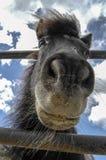 Spaans paard stock afbeelding