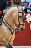Spaans paard in schouwspel royalty-vrije stock foto