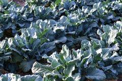 Spaanse die broccoli voor de uitvoer van Spanje worden gekweekt royalty-vrije stock afbeeldingen