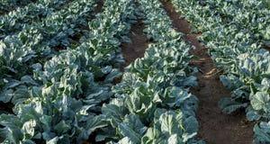Spaanse gekweekte broccoli voor de Britse invoer stock afbeelding