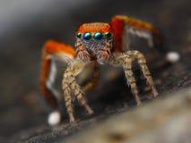 Spaanse het springen spin   stock afbeeldingen