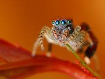 Spaanse het springen spin  stock fotografie
