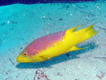 Spaanse hogfish royalty-vrije stock afbeelding
