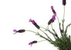 Spaanse Lavendel stock fotografie