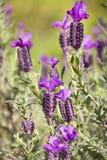 Spaanse Lavendel, Lavendula Stoechas Royalty-vrije Stock Afbeelding