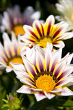 Spaanse margriet Stock Images