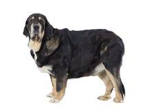 Spaanse Mastiff royalty-vrije stock afbeeldingen