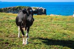 Spaanse melkkoe in het kustlandbouwbedrijf, Asturias, Spanje Royalty-vrije Stock Afbeelding