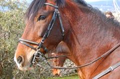 Spaanse Mustang stock foto's