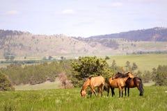 Spaanse Mustangs royalty-vrije stock foto