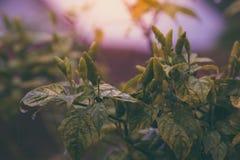 Spaanse peper op de boom stock foto