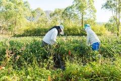 Spaanse peperaanplanting Royalty-vrije Stock Afbeelding