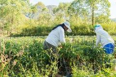 Spaanse peperaanplanting Royalty-vrije Stock Fotografie