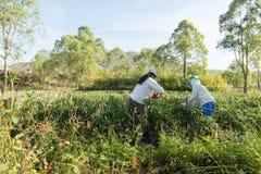Spaanse peperaanplanting Royalty-vrije Stock Foto's