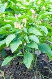 Spaanse peperpeper die in de tuin groeien Stock Foto