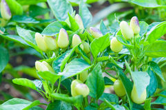 Spaanse peperpeper die in de tuin groeien Royalty-vrije Stock Afbeelding
