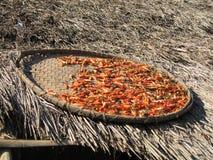 Spaanse pepers die in de zon drogen Stock Afbeeldingen