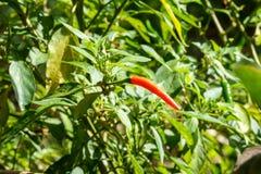 Spaanse pepers op boom royalty-vrije stock afbeeldingen