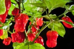 Spaanse peperspeper Stock Foto's