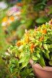 Spaanse peperspeper in de tuin Royalty-vrije Stock Foto