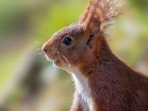Spaanse rode eekhoorn op een zonnige ochtend stock fotografie