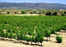 Spaanse wijngaard stock afbeeldingen