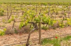 Spaanse wijnwijngaard in het noorden - oostelijk gebied van wijnland stock afbeeldingen