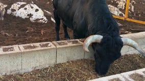 Spaanse zwarte stier die gras eten bij de stal stock videobeelden