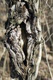 Spaccatura dell'albero Fotografia Stock