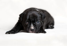 Spacconi dell'americano del cucciolo fotografia stock