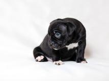 Spacconi dell'americano del cucciolo immagine stock libera da diritti