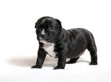 Spacconi dell'americano del cucciolo immagini stock