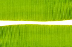 Space between banana leaf. Banana leaf texture on white background Stock Image